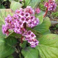 Лекарственное растение бадан толстолистный