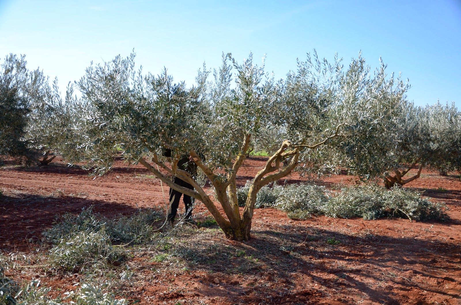 pruning olive trees without too much wood the olives