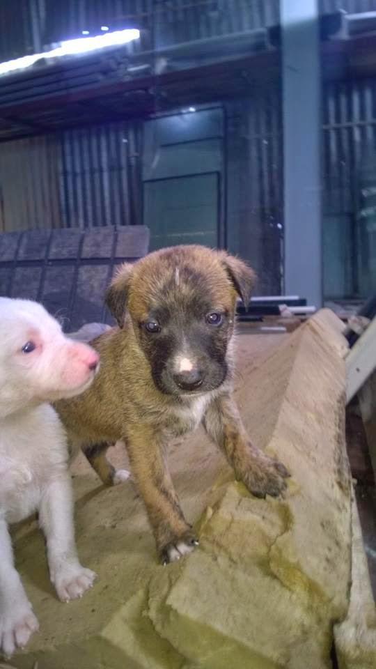 Adotta Un Cane A Siracusa 2 Cuccioli Di 30 Giorni In Regalo A Siracusa