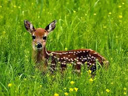 A Deer in the Grass