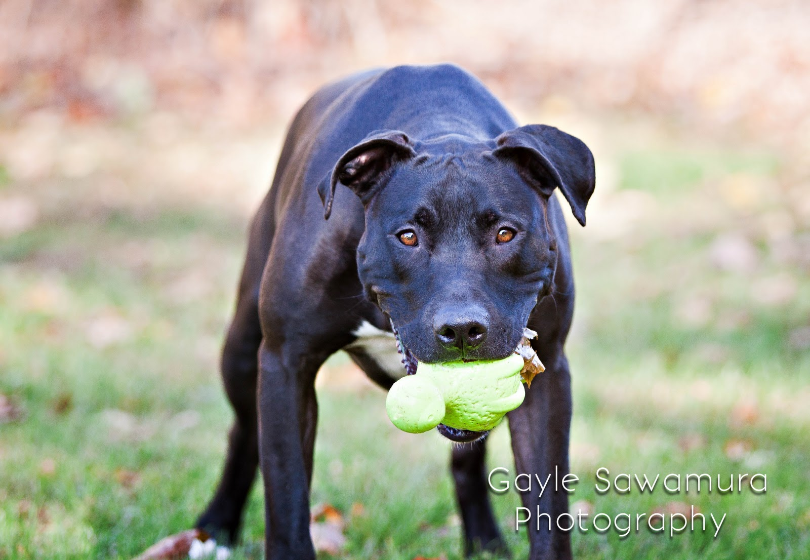 Pitbull Great Dane Mix Images & Pictures - Becuo