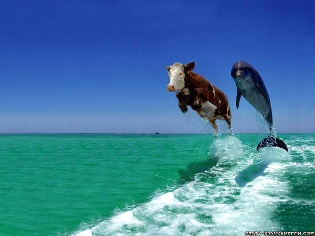 cow wallpaper free download cow wallpaper free wallpaper