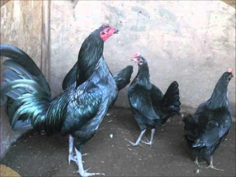 anabolicos para gallos de convate