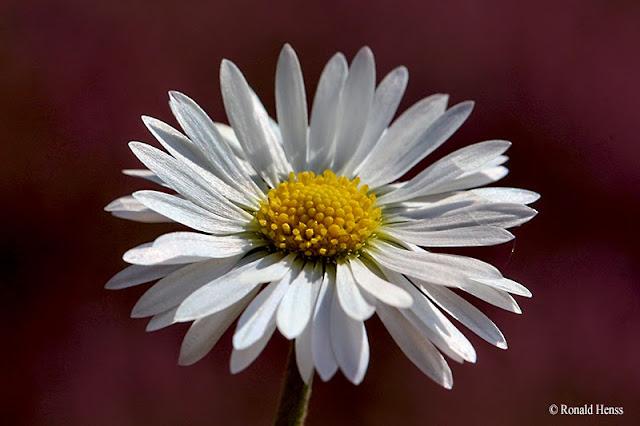 Blumen Blüten Gänseblümchen