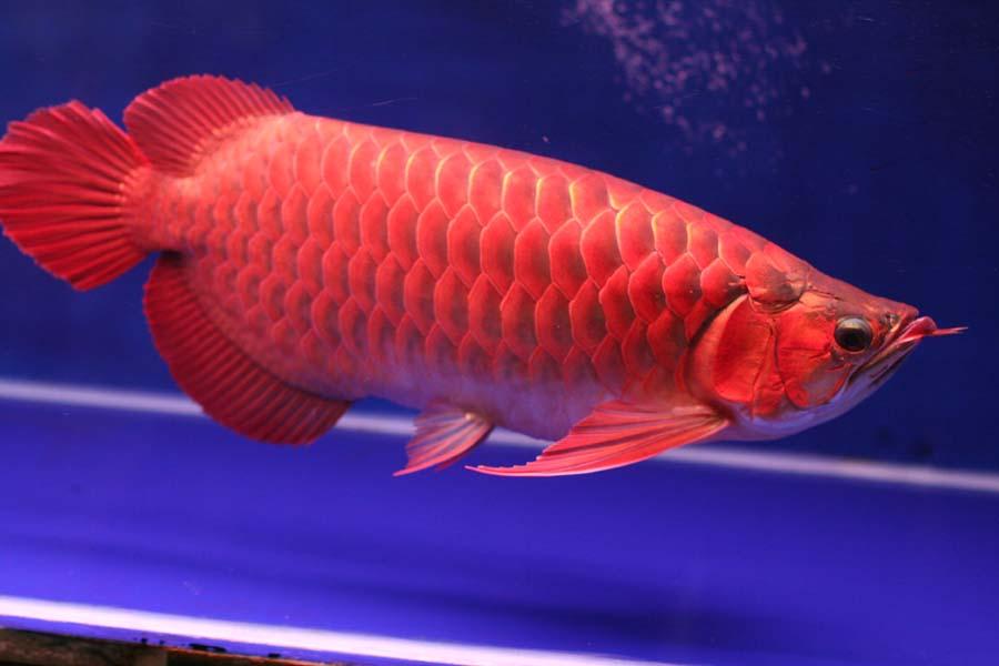 Red Arowana