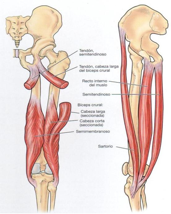 Curar tendinitis: LA PATA DE GANSO.
