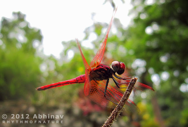 Crimson Marsh Glider Dragonfly - Male