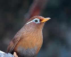 Burung Hwa Mei