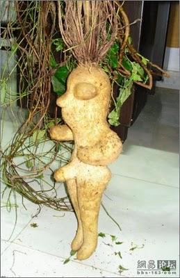 Ini gan tumbuh-tumbuhan yang sangat mirip dengan alat vital manusia ...