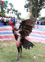 gambar ayam vietnam menang festival