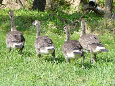 four goslings