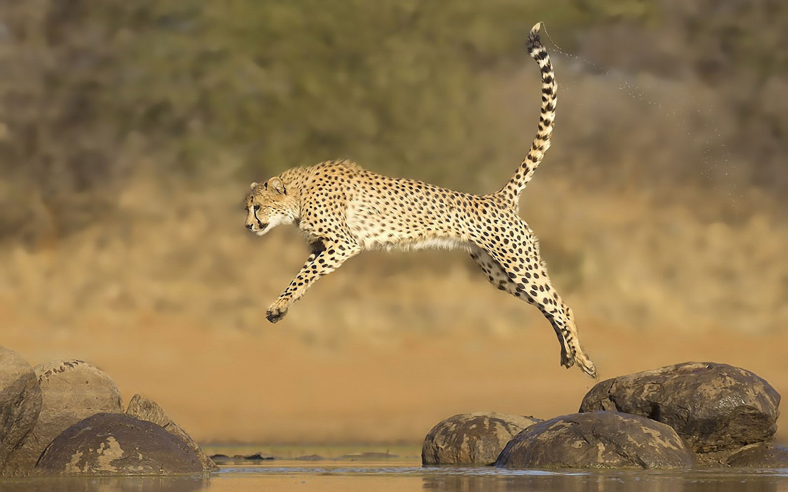 http://2.bp.blogspot.com/-PKBoHcjrUwA/UCfCyFP92NI/AAAAAAAAAbU/mJOUqolelUI/s1600/hd-cheetah-wallpaper-with-a-fast-running-jumping-cheetah-over-water-hd-cheetah-wallpapers-backgrounds.jpg
