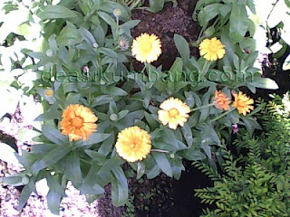 Manfaat Dan Khasiat Bunga Calendula