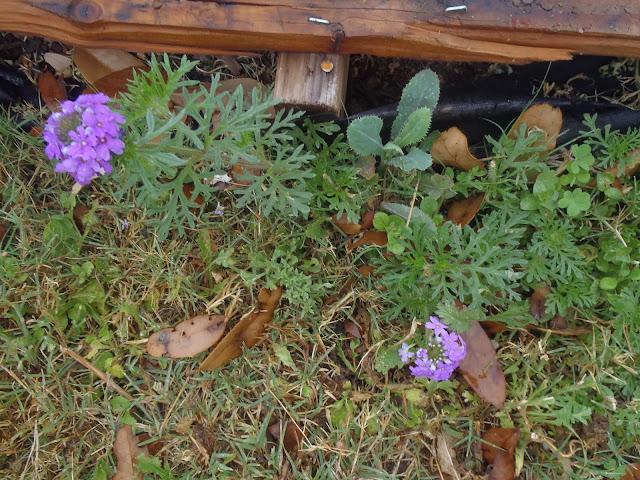 Geranium sanguineum 'Alpenglow' weed http://muttnut.blogspot.com/