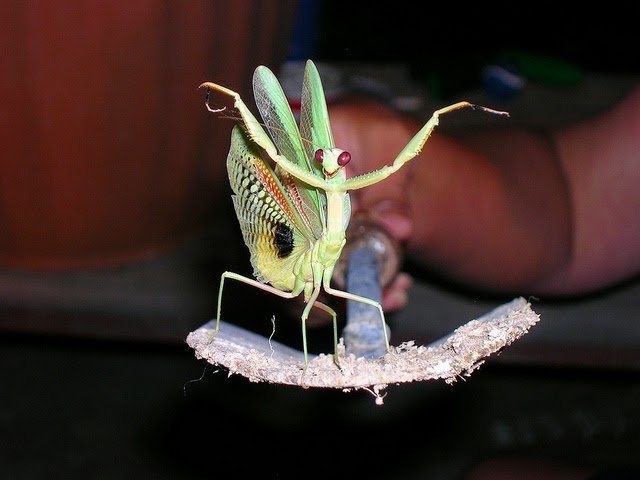 fancy mantis