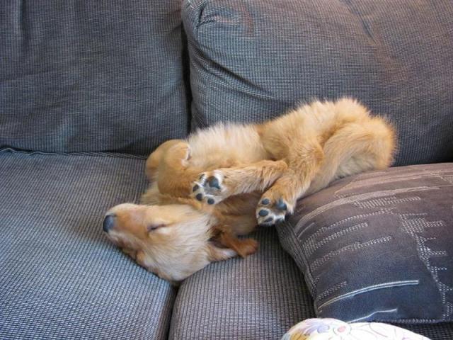 perros durmiendo en posturas increíbles.