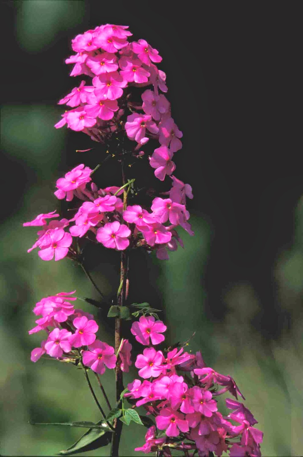 Kentucky Native Plant And Wildlife Plant Of The Week Meadow Phlox