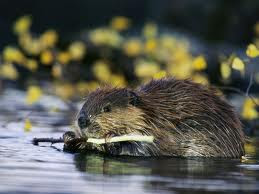 Beaver chewing on a twig