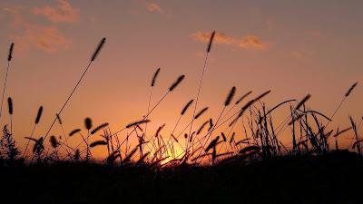 Wallpaper Theme Sunset Grass 1366x768