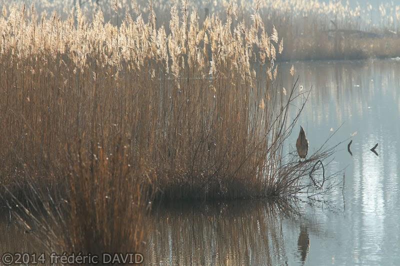 nature oiseau butor étoilé marais Misery Essonne