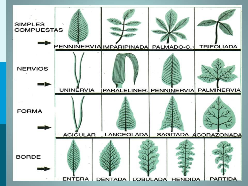 biolog a did ctica clasificaci n de las hojas pamer 1