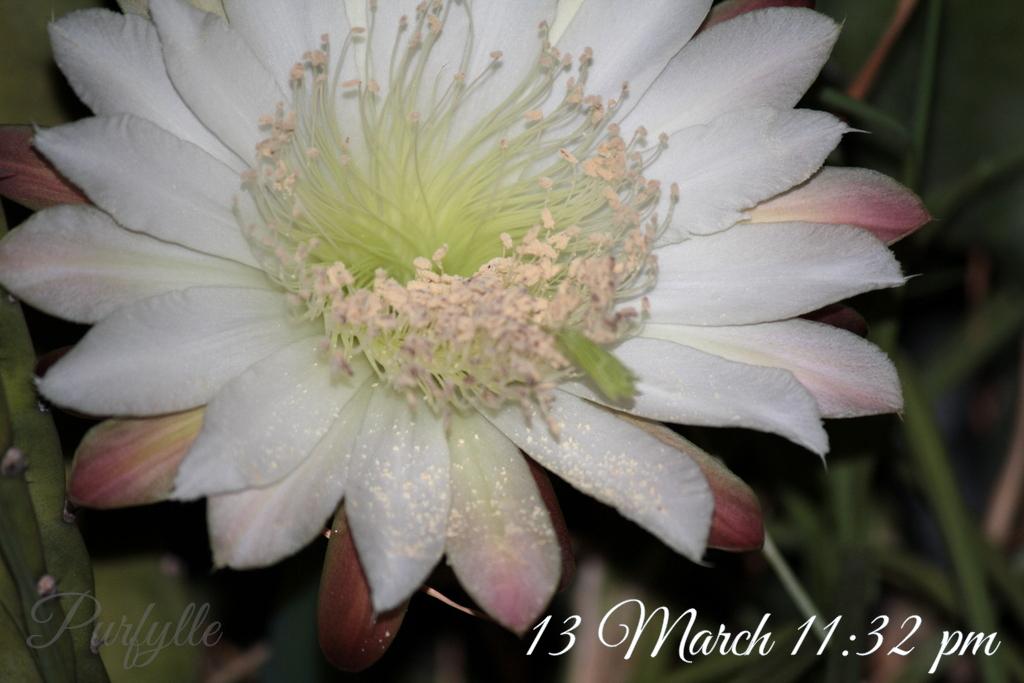 Fully open cacti flower