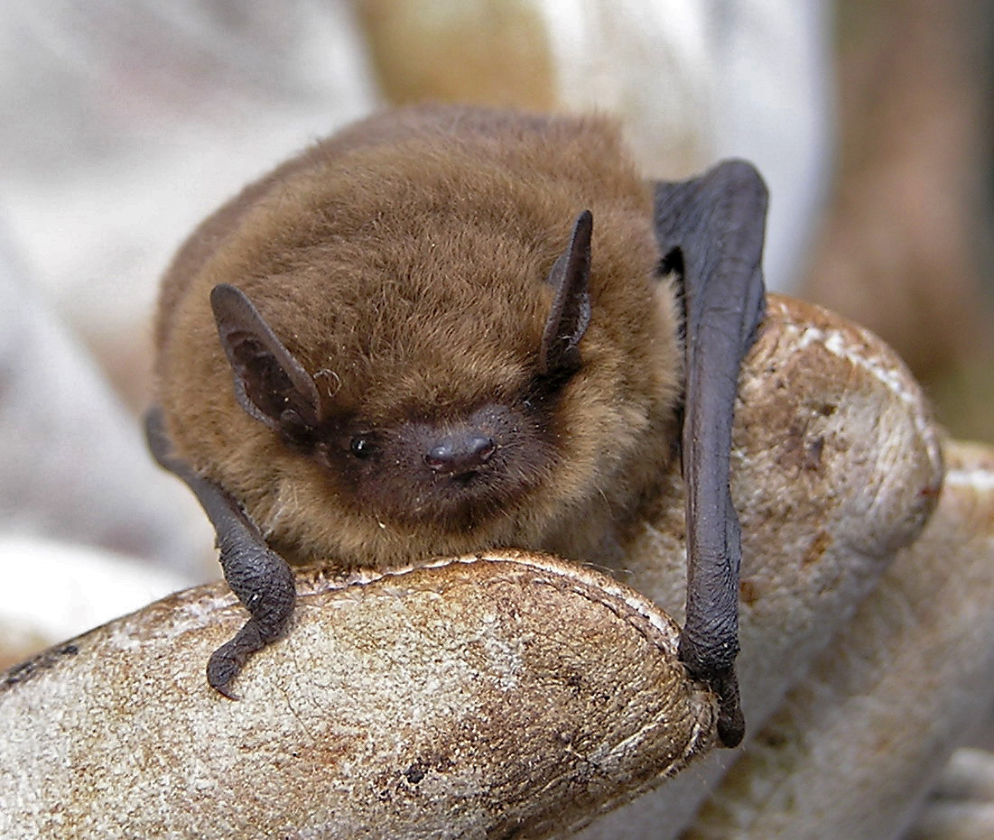 Bat Conservation Trust  It U0026 39 S Just Not Summer Without Bats
