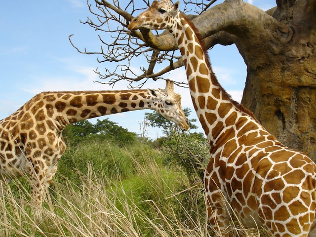 Animals Giraffes HD Wallpaper Resolution 1024x768