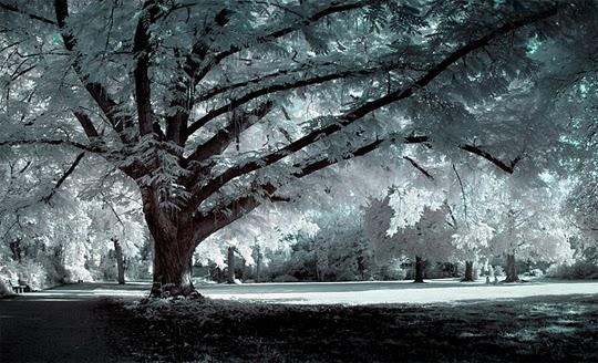 The Old Man, gambar pokok tua, pokok rimbun, pokok rendang, penyakit lupa dikalangan orang tua