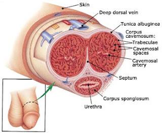 anatomi+penis