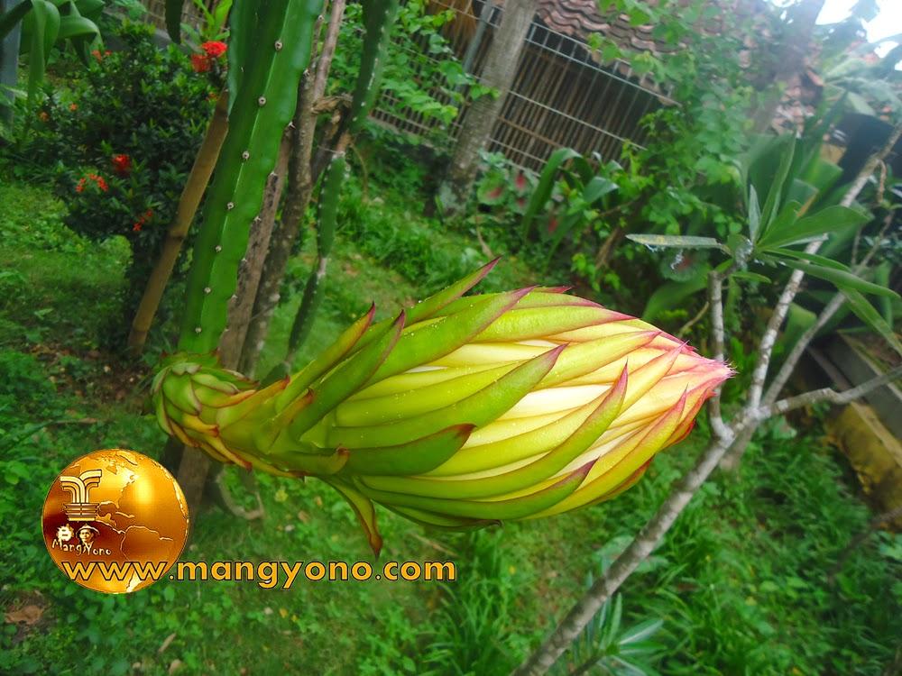 FOTO : Bunga buah Naga saat masih kuncup
