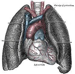 gambar jantung n paru2