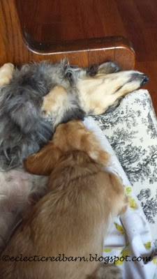 Eclectic Red Barn: Tiny sleeping next to Caleigh Doxies