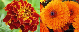 tanaman hias pengusir nyamuk marigold