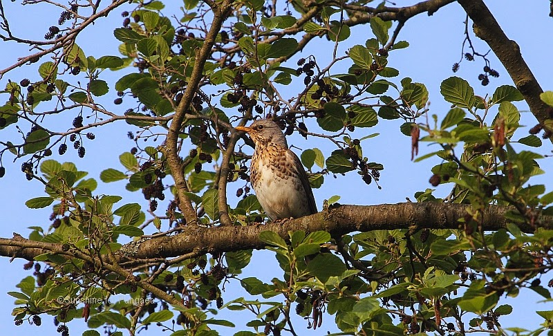 Fieldfare in a tree