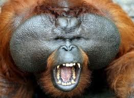El orangutan