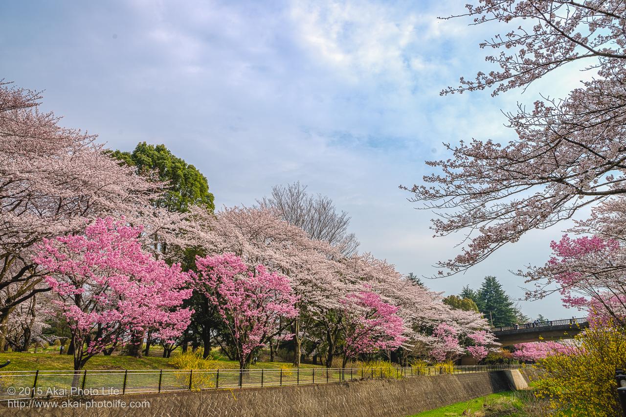 昭和記念公園の桜 その1
