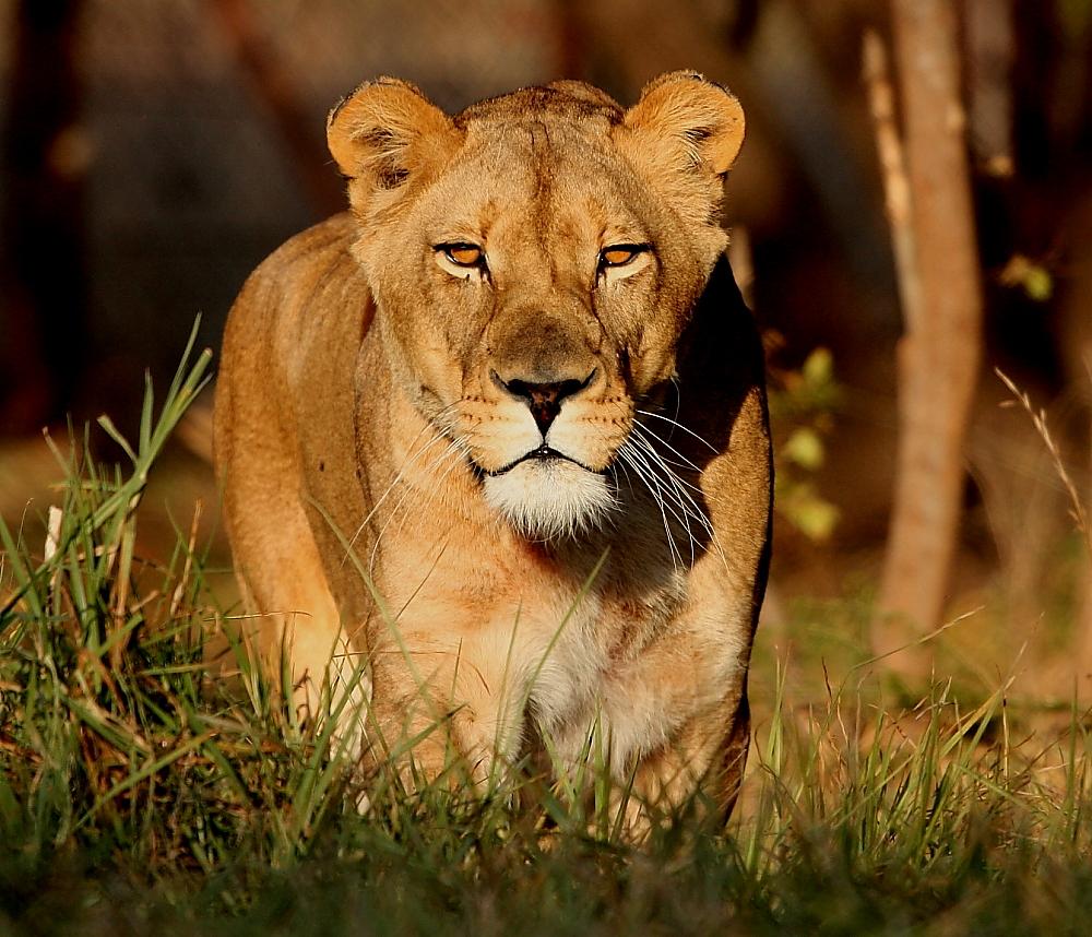 African Wildlife Photo Safaris: African Lion Photos