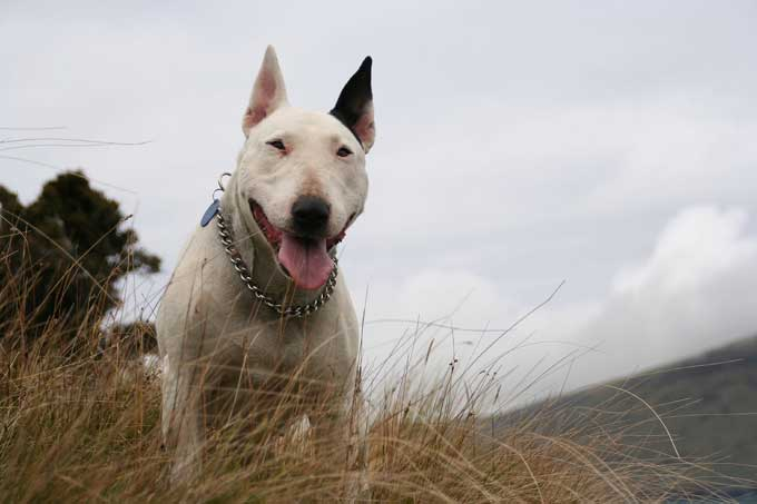 bull terrier dog breed also referred to as the english bull terrier ...