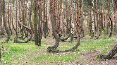 Hutan pokok-pokok bengkok di Poland