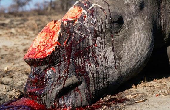 Fotos de rinocerontes muertos 36