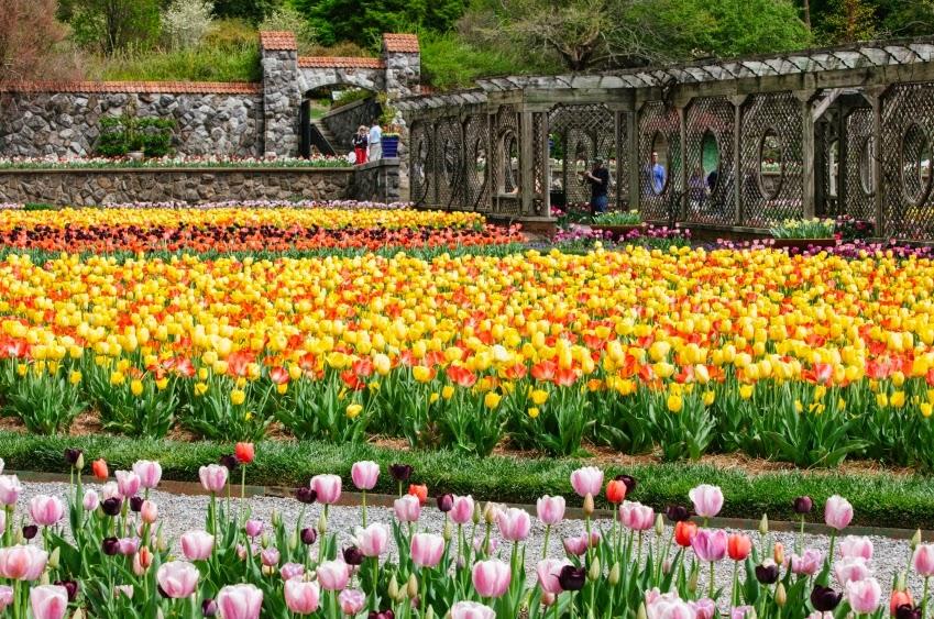 tulips Biltmore