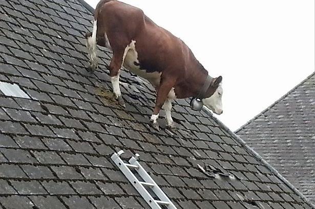 Chán ở mặt đất một Cô Bò leo lên mái nhà chơi