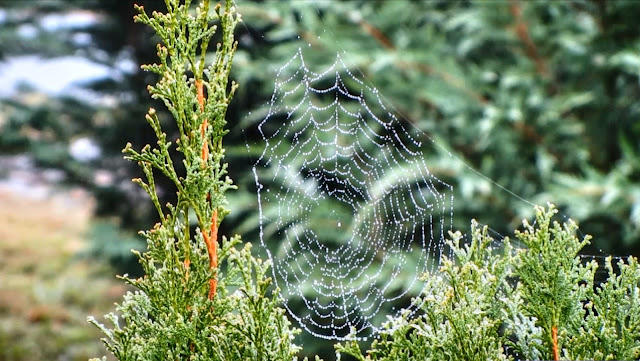 Spider web, dancing spider web, spider web in morning sun, Spider web morning dew, dew, morning, morning dew,