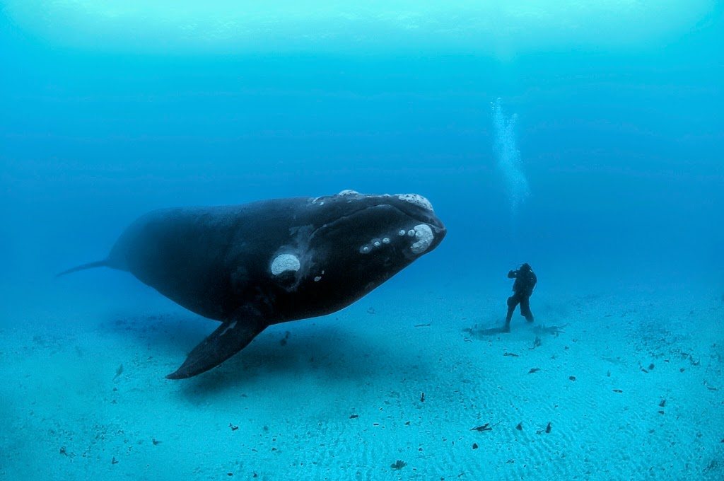 Does Adult blue whale