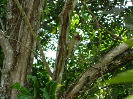 Pájaro carpintero en su habitad natural en la Sierra del Rosario, Cuba