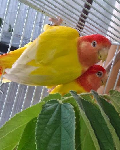 Lovebird Opaline Lutino