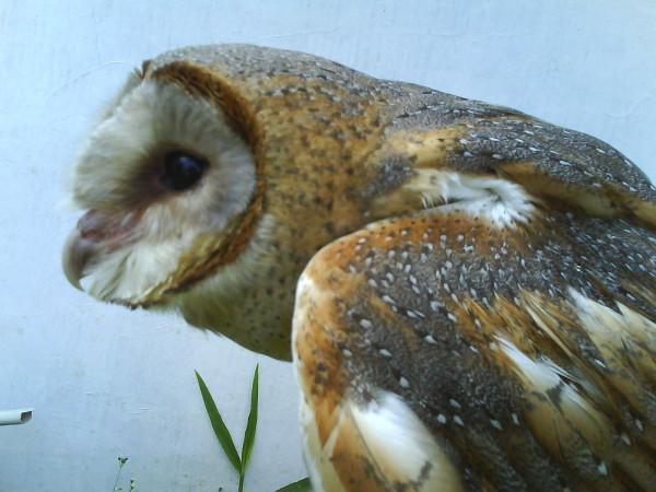 istilah dunia falconry