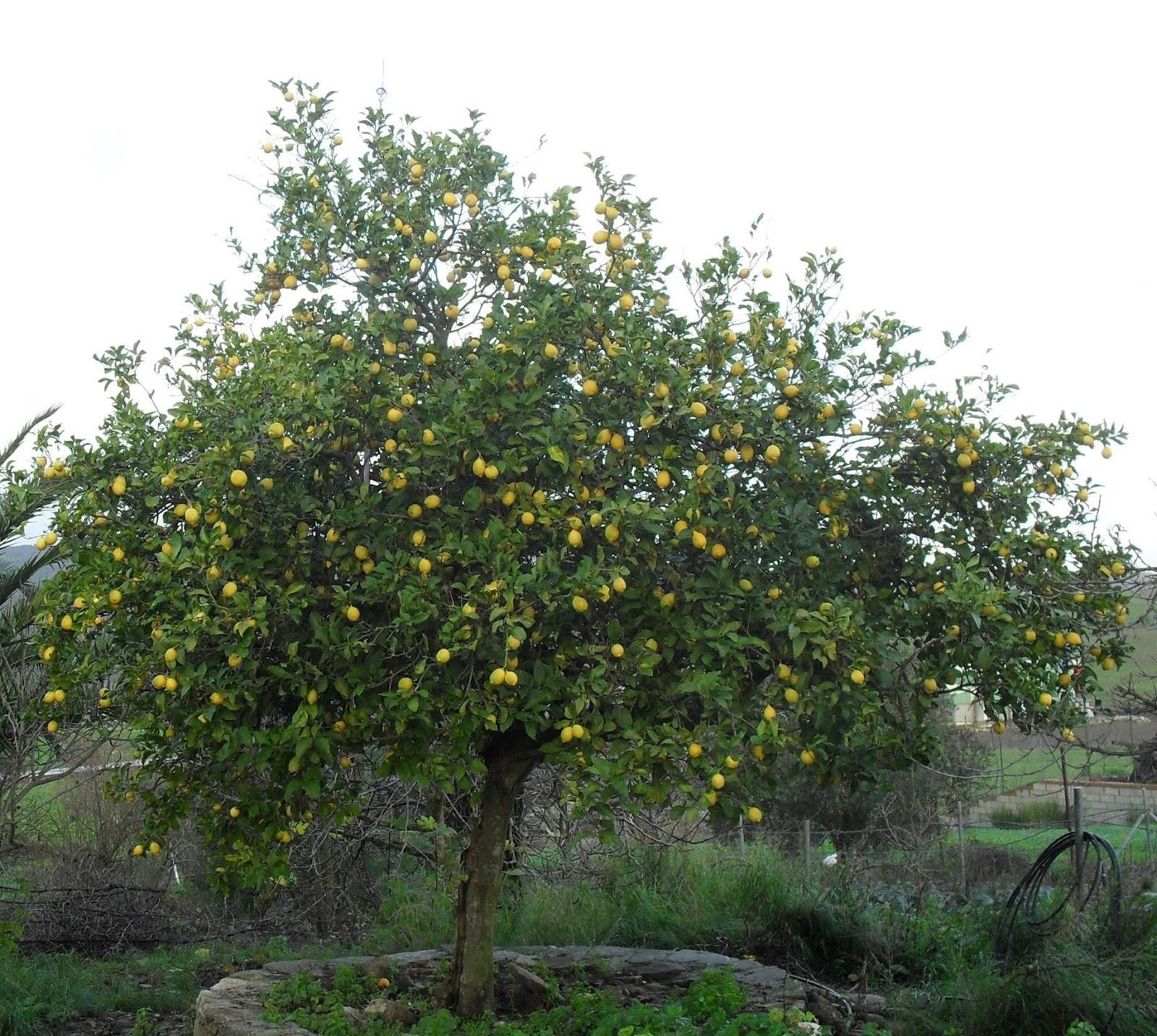 Cultiva tu mismo como se poda un limonero - Poda de hortensias epoca ...