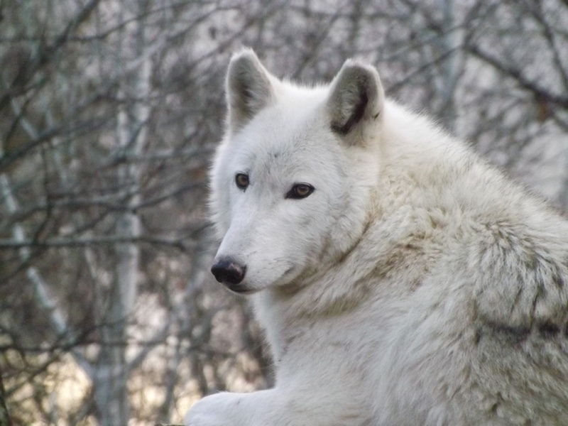 Skyenimals - An Animal Blog For Kids: Animals of the Coniferous Forest